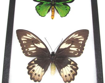 REAL framed butterfly green black Ornithoptera priamus poseidon birdwing Arfak Indonesia pair male female