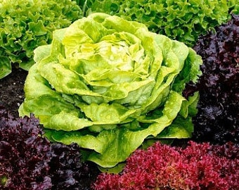 Organic Spring Lettuce Mix Heirloom Vegetable Seeds