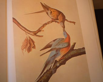 Vintage - Passenger Pigeon - Audubon Color Plate from original 1820 print - Cincinnati life painting - gift for birders - nature lovers