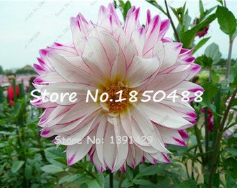 Dahlia Bulbs, (not Dahlia Seeds), Holland Dahlia Flower 3 Bulbs (item No: 23)