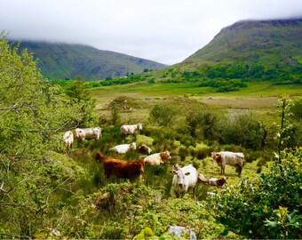 Irish Cow Print, Ring of Kerry, Fine Art, Nature Photography, Serene Wall Art, 8x8, 8x10, 8x12, 9x16, 18x32, Ireland Landscape - Irish Cows