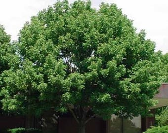 100 White Ash Tree Seeds, Fraxinus Americana
