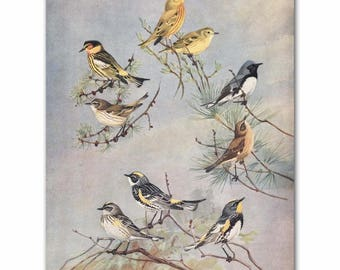 "Bird Print Art, Living Room Wall Print (Warbler Bird Art, Bird on a Branch) --- ""Warbler Varieties"" No. 82"