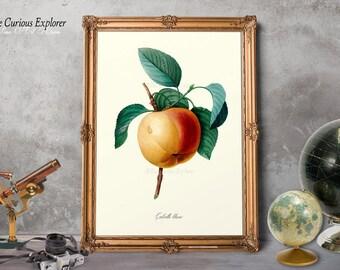 Botany Art Posters, Apple Fruit Decor, Apple Decor, Old Fruit Wall Art, Fruit Wall Decor, Kitchen Art, Posters Gift for Mom - E11_8