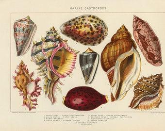 Vintage 1907 Book Plate — Marine Gastropods