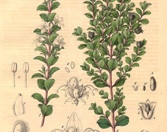 Buchu Leaf Essential Oil-Agothosma betulina - 100% Pure