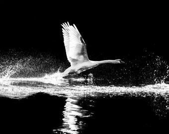 High Contrast Black and White Swan in Flight