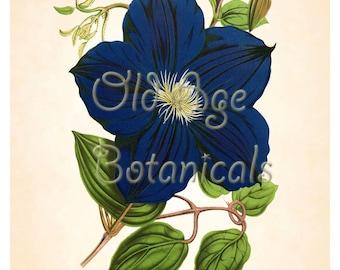 Antique Botanical Print 8x10 Art Print Large Vintage CLEMATIS Navy Blue Flower Floral Art Wall Decor Interior Design Illustration BF0903