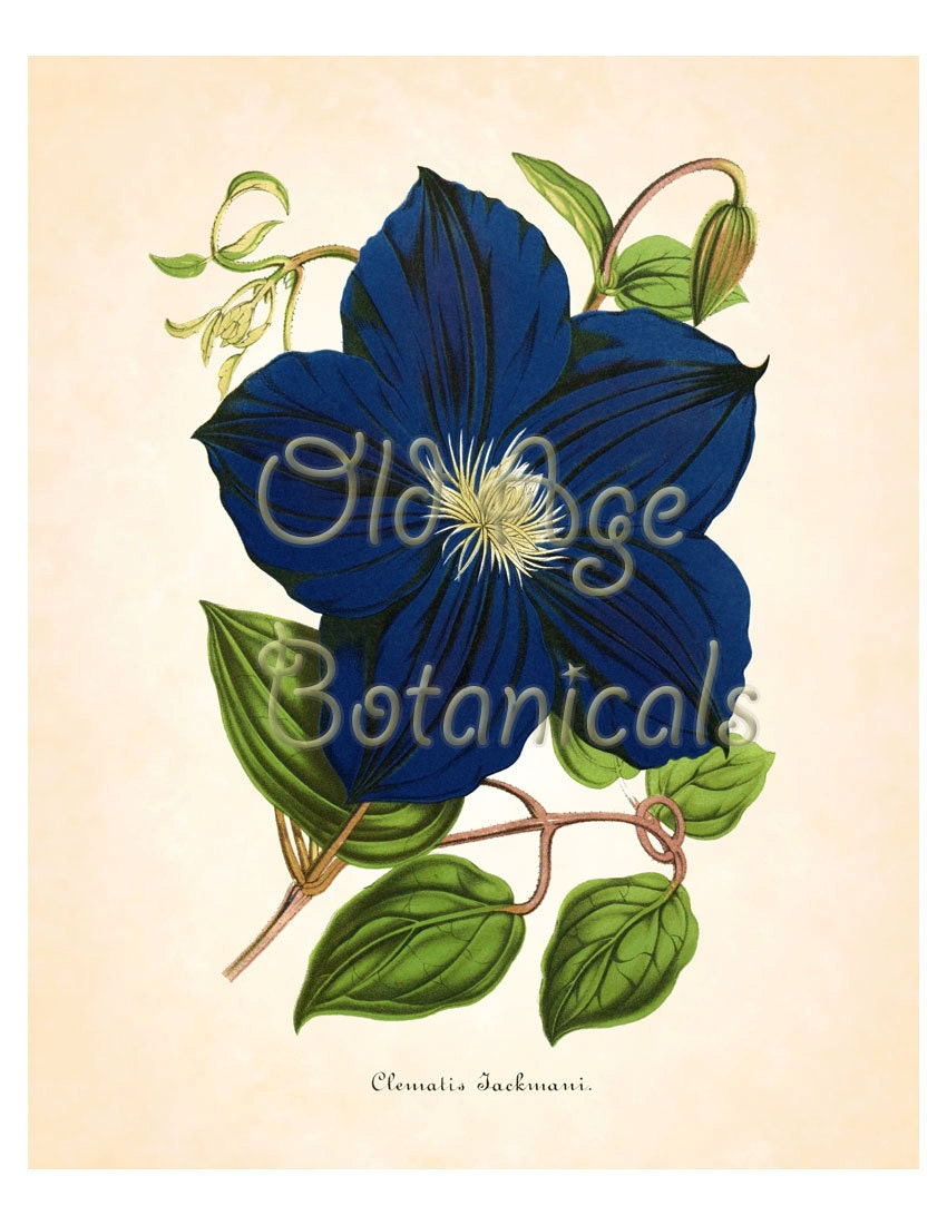 Antique Botanical Print 8x10 Art Print Large Vintage Clematis