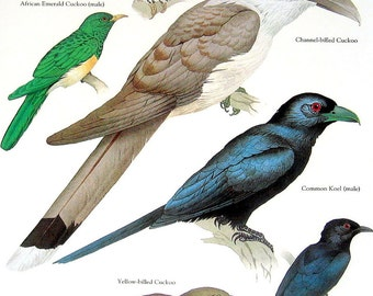Birds - Cuckoo, African Emerald Cuckoo, Common Koel, Drongo Cuckoo - Vintage 1980s Bird Book Plate Page
