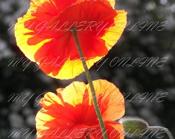 Backlit Poppies in the Sun , Photograph, Nature, Botanical, Floral, Orange, Green