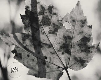 Artistic photograph of a maple leaf, transparency, black and white, against the light, autumn, fall, b/w, nature, bokeh, rustic, country