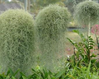 2.5 gallon bag full of Spanish Moss for Dish Gardens, Crafts etc.!!!