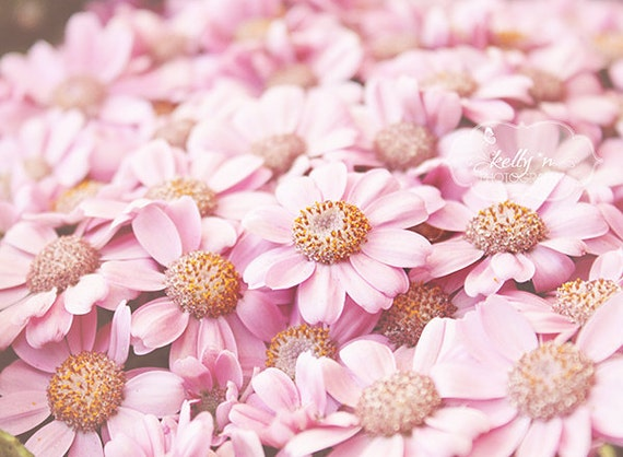 Flower photography pink daisies photo nature photography mightylinksfo