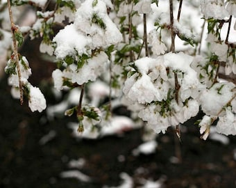 Snow-Covered Flowers Photo — White Blossoms in Snow Photograph — Nature Wall Art — Winter Garden Photography — Late Spring Snow Pictures