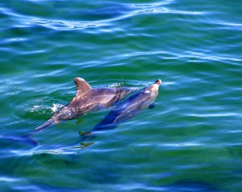 Dolphins in Liquid Blue Photographic Print