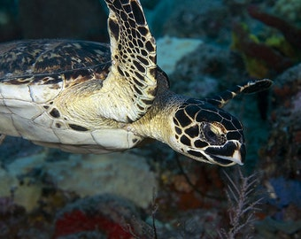 Sea Turtle Art Photo Underwater Photography Nautical Home Decor