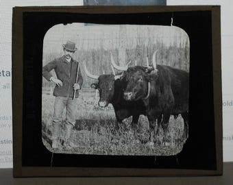 antique vintage glass photograph, photo farm cows cattle ox oxen pulling team with farmer