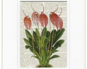 1800's botanical print