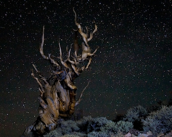 Starry Night in the Ancient Bristlecone Forest Fine Art Print