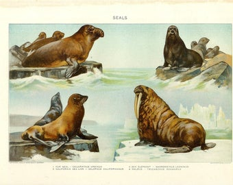 1909 Animal Print - Seals - Vintage Antique Home Decor Book Plate Art Illustration for Framing 100 Years Old