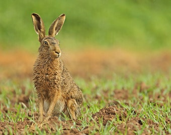 4 Hare Greetings Cards - Blank inside to personalise for any occasion