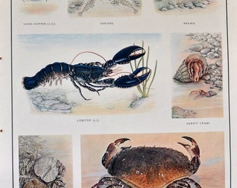 VINTAGE School Poster, CRUSTACEA, Crabs, Lobster, Shrimps, Prawn, Sealife, Educational Wall Chart, Sea Creatures