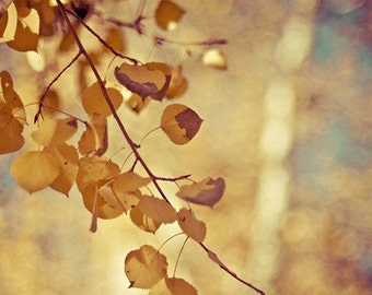 autumn nature photography / aspen, fall, gold, golden, yellow, fall foliage / shimmer / 8x10 fine art photo