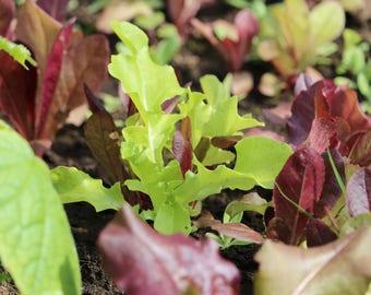 SALE Mixed Lettuce Seed, Spring Mix, mescalin seeds, Organic seeds, mescalin salad seeds