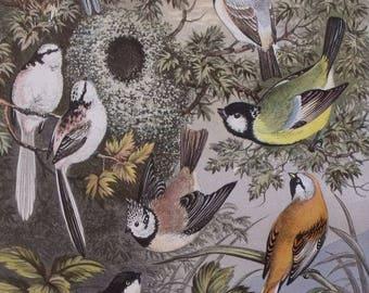 1874 Various Titmice, Titmouse Birds: Marsh, Crested, Blue, Longtailed. Antique Bird Print. Lithograph by Adams. Original Vintage Print