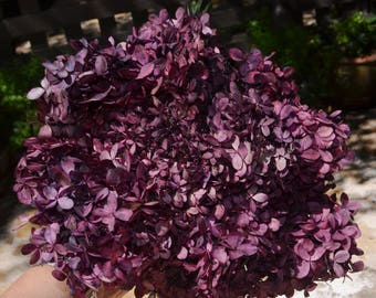 Hydrangeas,  Preserved hydrangeas, Plum hydrangeas, Purple hydrangeas