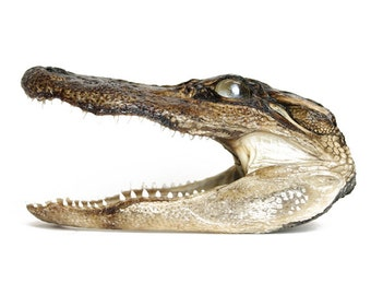 Preserved Alligator Head 5-7""