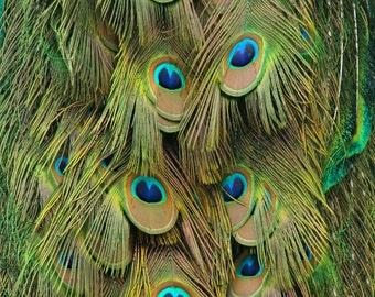 Peacock Tail Feather Art Print, Green Blue Gold Nature Photography Bird Wall Art Wall Decor Feather Wall Art