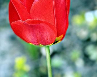 Red Tulip Print, Tulip Picture, Red Tulip Photo, Flower Photo, Tulip Print, Red Flower Picture, Flower Picture, Tulip Photo, Red Tulip