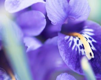 Iris Wall Art | Purple Iris| Iris Photography | Flower Photography | Flower Wall Art| Purple Wall Art| Purple Photography| Spring Flowers