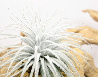 Tillandsia Tectorum // Rare Fuzzy Air Plant // Hello Tilly Airplant