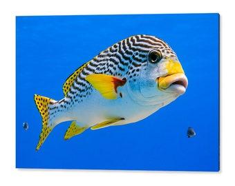 90x60cm wall art print - Diagonal banded Sweetlips fish - Plectorhinchus lineatus - nature underwater acrylic photo print 1173