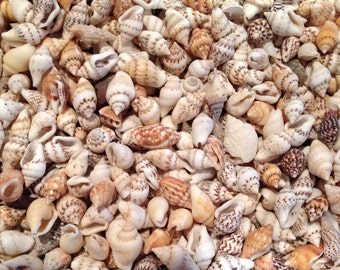 "Seashells - 1/2 cup Dove Seashells (approx. 250 pcs.) 3/8"" - 1/2"" shell crafting/beach decor/shell supplies/beach party decor/bulk shells"