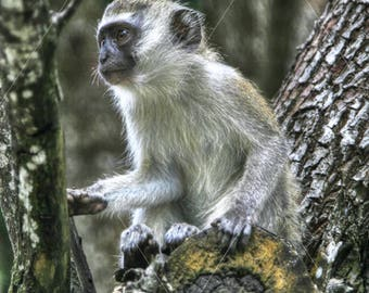 Kenya Safari, Vervet Monkey Animal Wildlife Print, Photograph, Wall Art