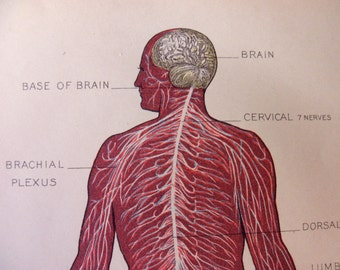original page - 1905 color MEDICAL CHART from antique medical book - Human Nervous System