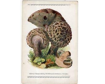 c. 1921 - EDIBLE MUSHROOM LITHOGRAPH - original antique print - fungi toadstool mycology bolete shrooms - Old Man of the Woods