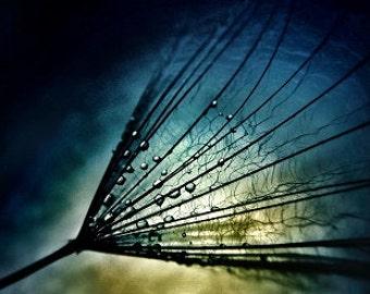 Midnight Tears - modern contemporary nature dandelion macro  fine art photograph spring inspirational wall art