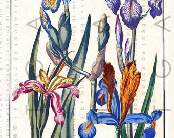 STUNNING IRISES Antique Botanical Print. Vintage Digital Flower Download. Vintage Floral Illustration Botanical Art.