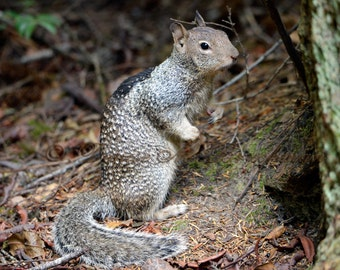 Gray Squirrel Nursery Art - Squirrel Photo Birthday Gift - Squirrel Gifts for Kids - Wildlife Animal Print Kids Room Art