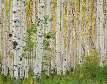 Aspen Trees in the Spring Sun, Sunshine, Natural Light, Fine Art Photography, Nature Photography, Utah, Treescape, Landscape, Wall Art