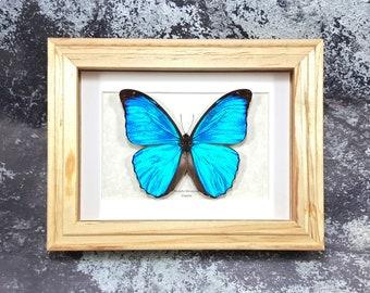 Framed Menelaus Blue Morpho A1/A1- Taxidermy #74