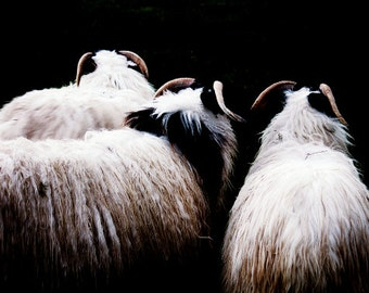 Sheep Print - Dark Irish Sheep Fine Art Photograph - Rural Photography - Farmyard Art - Northern Ireland