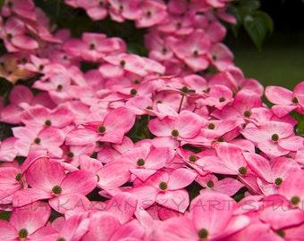 Instant digital download Pink Dogwood Blossom Fine art nature photography Flower printable photography Floral photography