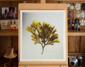 Toothed Wrack I - Seaweed Print - 28cm Fine Art Print - beautiful coastal artwork