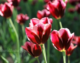 dark red tulips, tulips in garden, garden print, red purple flowers, flower photography, nature photography, spring,floral wall art,fine art